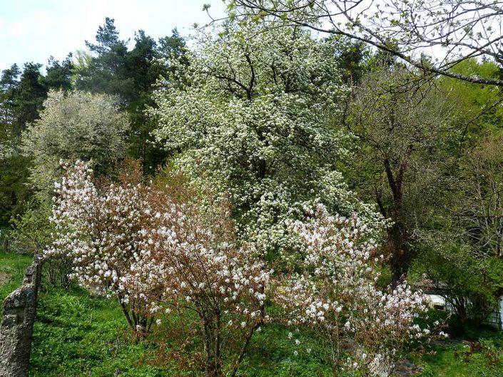 Obstbaumbluete