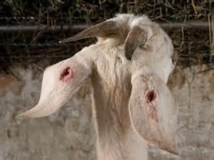Ohrlöcher für Ohrmarken in Ziegenohren