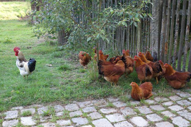 Hühner in freier Natur