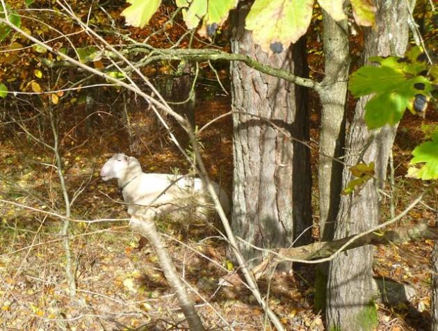 Schaf döst in der milden Herbstsonne