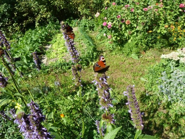 Schmetterlinge im Kräuterbeet
